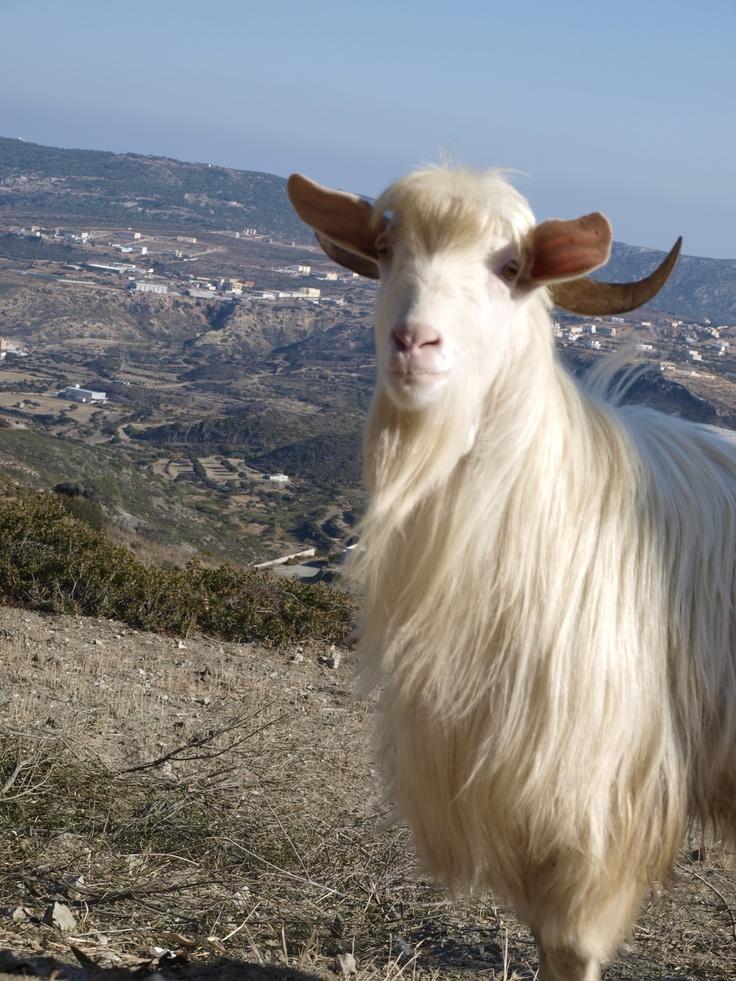 Goat In Karpathos..!