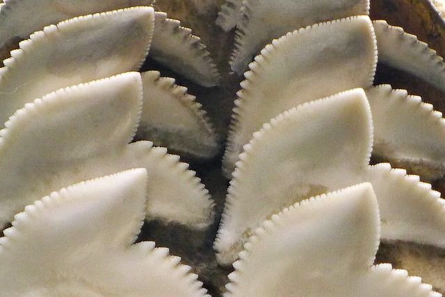 Detail of Tiger Shark teeth, Horniman Musuem. Top 10 Fun Facts About Tiger Sharks! - Cool and Interesting Facts for Kids