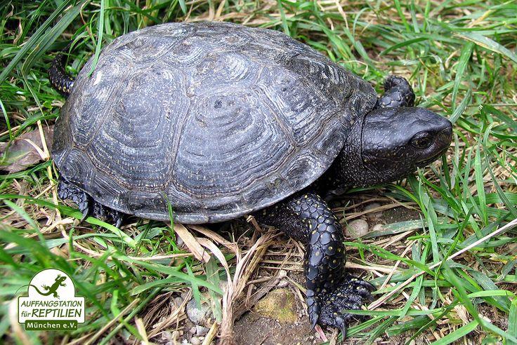 Da die Europäische Sumpfschildkröte trotz des genetischen Nachweises in Bayern nicht mehr als heimisch gilt, werden auch immer wieder Wildfänge bei uns abgegeben. Bei entsprechender genetischer Eignung geben wir die Tiere deshalb an andere Bundesländer weiter, in denen sie wieder angesiedelt werden.