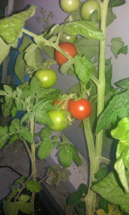 Tomaten groeien ook op 1 hoog