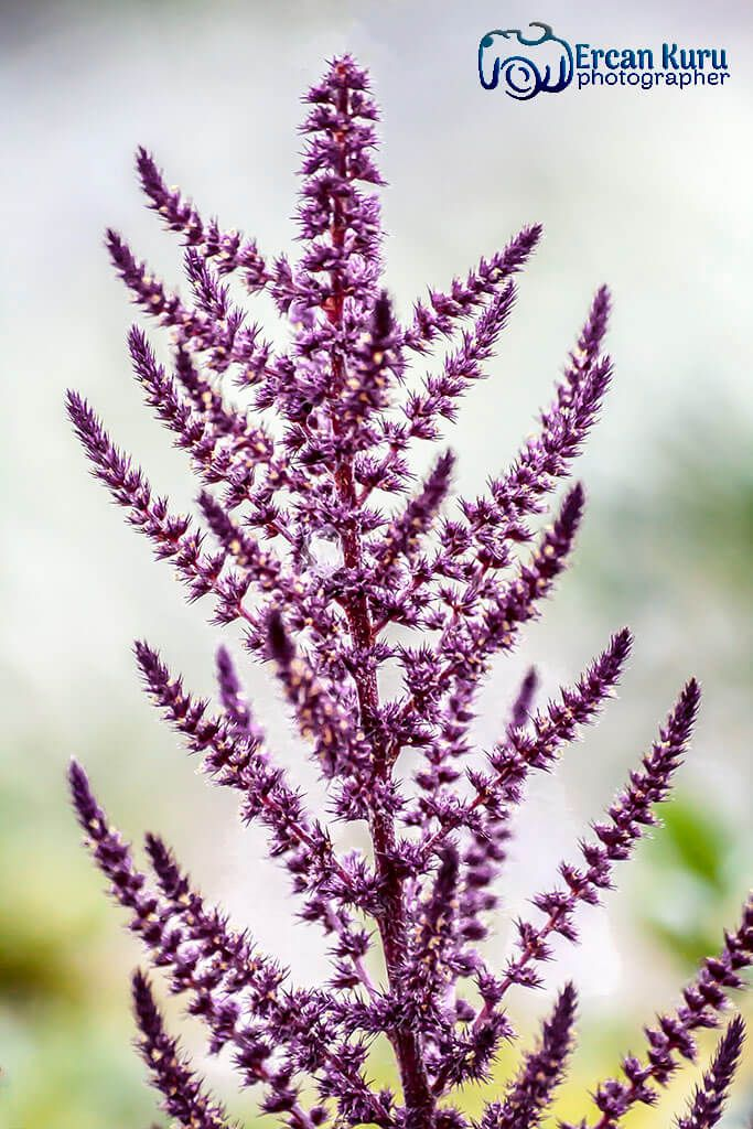 Beni böyle hatırla... http://www.ercankuru.com.tr/project/cicek-bahcesi/   #çiçek  #flower  #çiçekler  #flowers  #çiçekbahçesi  #flowergarden  #çiçekçi  #florist  #makro  #macro  #Lavanta  #lavender  #mor   #purple  #morçiçek  #purpleflower