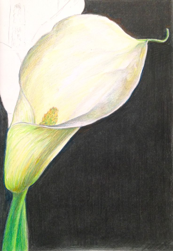 Learn how to paint this lily in coloured pencil as part of Kate Clarke's Still Life course coming soon to ArtTutor