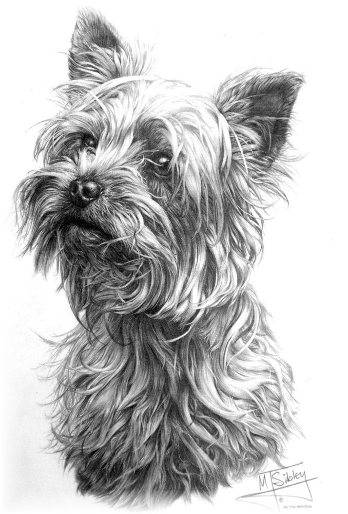 Line Drawing Of Yorkshire Terrier : Best images about dessin yorkie on pinterest