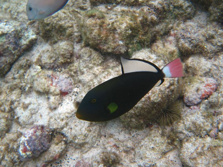 Pink tail triggerfish. Even though it appears black, it is really very dark green.