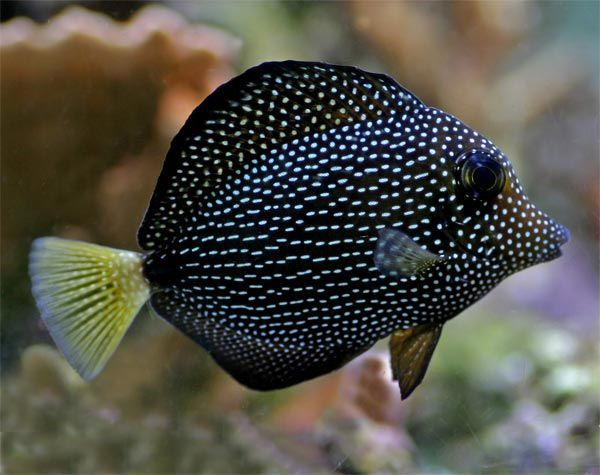 Gem Tang Sale Only 280 At Reef Lounge Usa Rare Tiger Angelfish Https Www Reef2reef Com T Beautiful Sea Creatures Saltwater Fish Tanks Deep Sea Creatures