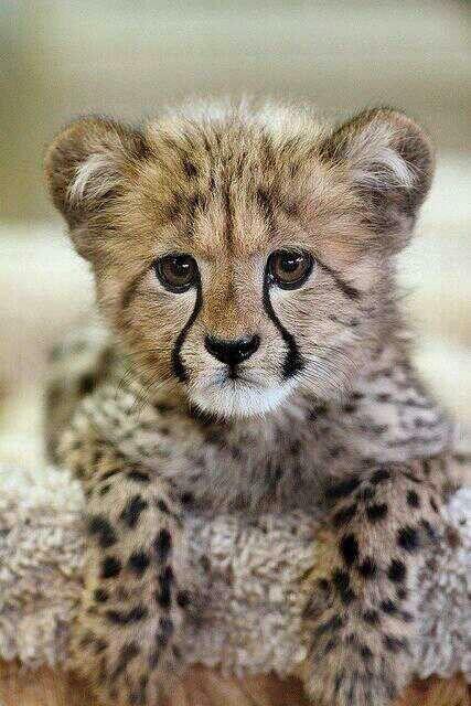 Bebe Jaguar Reino Animal Pinterest And