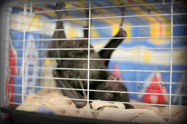 Rehab | Megabats in care, Flying-foxes, Fruit bats