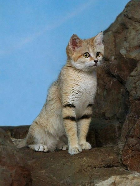 Beautiful little Sand Cat!!    one of the smaller Wild Cats. The Sand Cat inhabits the arid regions in the Middle East. There are five distinct populations: two in the Sahara desert of northern Africa, one in southern Saudi Arabia, one around the Caspian Sea in Russia, and one in Pakistan. Isn't she lovely :) ♥