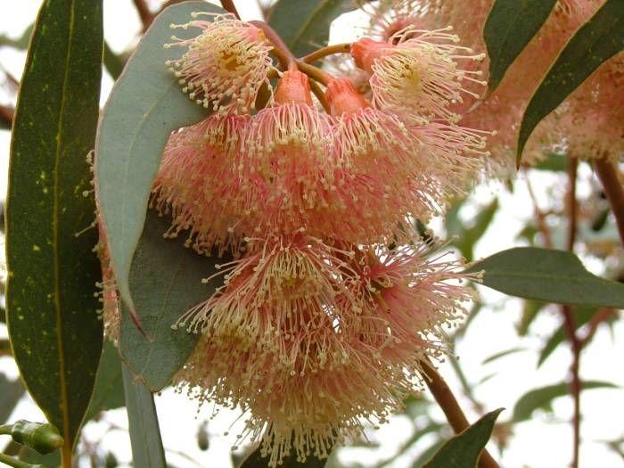 Pink Gum (Eucalyptus fasciculosa)