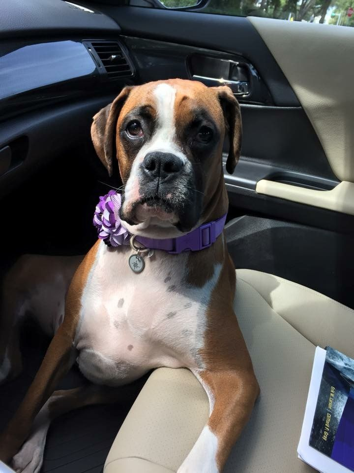 Boxer dog for Adoption in Tampa, FL. ADN533143 on