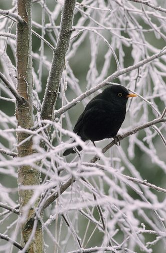 Eurasian Blackbird. Photo by flip de nooyer