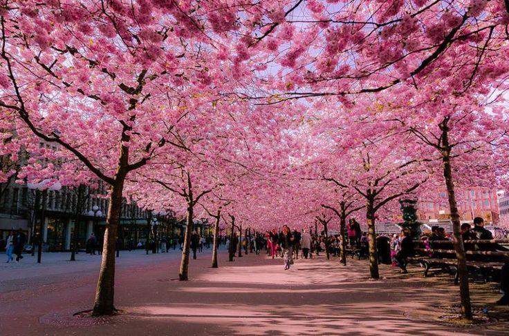 Sakura - festivalul înfloririi cireşilor din Japonia - GALERIE FOTO