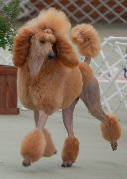 "Red Standard Poodle // AUST CH Shertonah Gypsy Gold ""Gypsy"" // Shertonah Poodles"