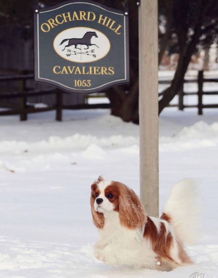 Beautiful Blenheim Cavalier King Charles Spaniel . Orchard Hill is one of the top breeders in America for Cavalier King Charles Spaniel's.