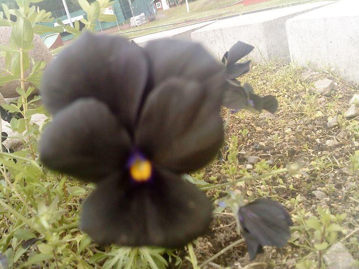black pansies