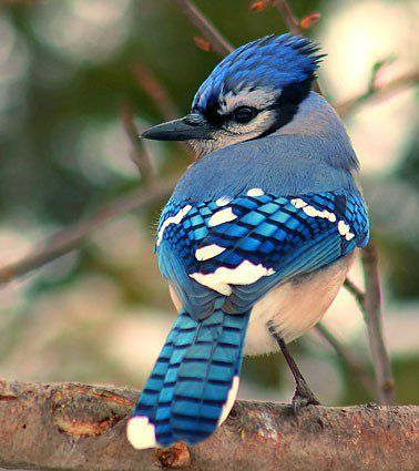 One of the loudest and most aggresive birds..pretty though and still love the Blue Jay