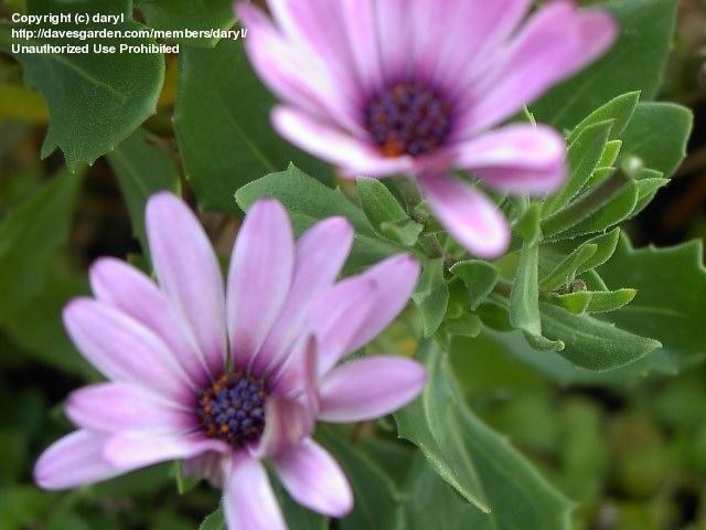 African Daisy, Cape Daisy (Osteospermum jucundum var. compactum)
