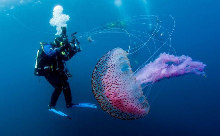 Medusa acalefo luminiscente.  Esta es una especie de medusas cuyo hábitat está localizado en las aguas profundas de la zona pelágica del Atlántico y del Mediterráneo, aunque es posible verla en ciertas épocas del año cercanas a las costas, para su ciclo reproductivo. Durante el período comprendido entre el inicio de la primavera y el final del verano, también es común la aparición de enjambres de medusas luminiscentes en las líneas de costas, que viajan movidas por las corrientes.
