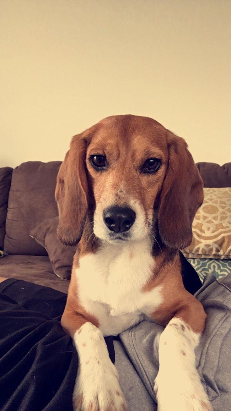 Resultado de imagen para beagle sitting on feet