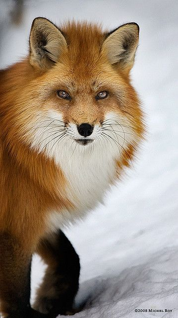 Stunning Red Fox