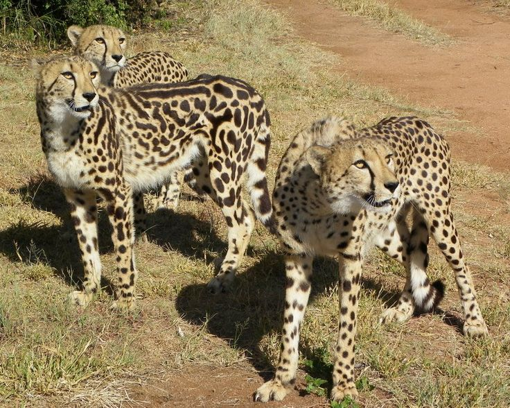 Genetic-conservation as well. Home to a few King Cheetah, a very rare Genetic mutation where the recessive gene dominates and determines the Phenotype as well. In other words, stripes instead of spots...