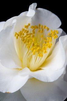 Camellias - April Snow Camellias are cold hardy.