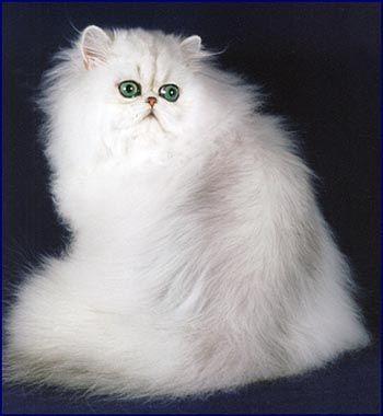 Shaded Silver Persian cat