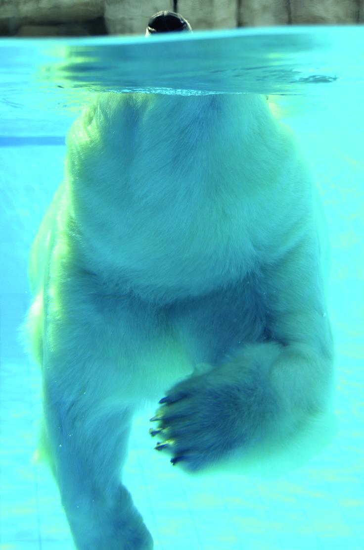 Photography | Polar bear | Blue