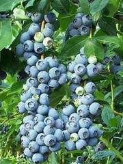 Vaccinium cor. 'Patriot', jätteblåbär. En av de mest eftertraktade höga buskblåbären. Upprätt växtsätt, 1,2-1,8 m hög. Ger mycket stora, välsmakande tillplattade bär, ljusblåa, med ljusare ränder. Mognar i slutet av juli. Ger 4,5-9 kg/buske. Kan behöva beskärning och även gallring sina bär. Tolerant mot mer fuktiga jordar och svalare platser med en kortare vegetationssäsong, men växer bättre i soliga och varma lägen, får dock inte vara för torrt. Härdighet -40 grader.