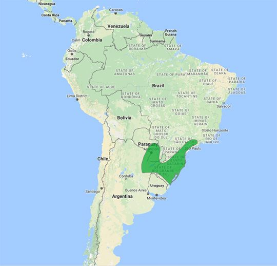Lesser Grass-Finch (Emberizoides ypiranganus)  is restricted to the area of NE Argentina, E Paraguay, N Uruguay and SE Brazil.