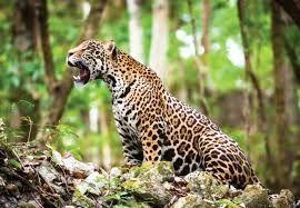 Resultado de imagem para jaguar