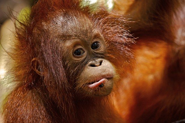 Wild orangutans live only in the forests of Borneo and Sumatra and are listed as endangered.  The peaceful creatures survive by eating bark, leaves, flowers and insects.  'The forests are being chopped down to make room for oil palm, a product used in foods and the cosmetics industry,' Charlie [Hamilton James] said.