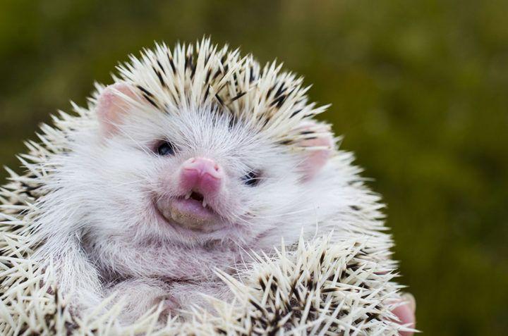 200 Best Hedgehog Names For Girls Boys In 2020 Hedgehog Pet Hedgehog Names Girl Pet Names