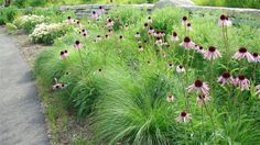 Midwest native gardening - prairie dropseed supporting pale purple coneflower.