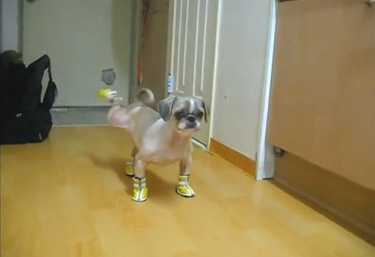 """Funny videos of """"Dogs in Boots Compilation"""""""