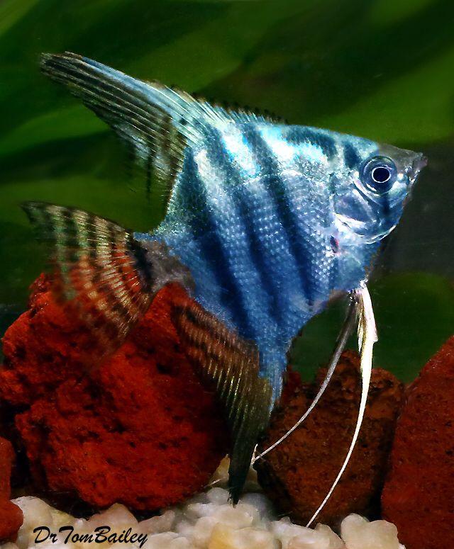 Blue Zebra Angelfish