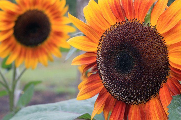 girasoles, plantas, pétalos, coloridos, campo, plantación, 1707071646