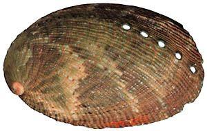 Vista dorsal de espécime de concha Haliotis virginea, variação verde, também conhecidas como Abalones. Proveniente da região de Marlborough, ilha do Sul, Nova Zelândia.  Fotografia: Daniel L. Geiger.