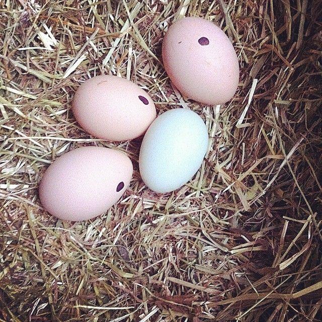 Vi prøver med disse fire #rugeæg, vores store Orpington er meget skruk, nu må vi se. Det er hyggeligt og sjovt:) #kyllinger #spring #chickenandeggs. Læs med på bloggen, og hør bland andet om #vandprøven eller gå ind og læs om hønseliv:)