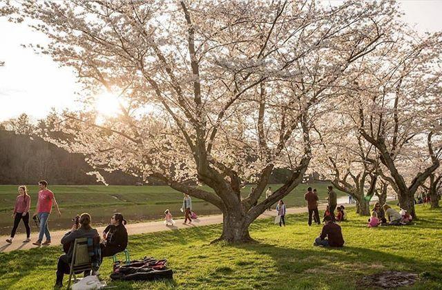 Pin By Patsy Schlink On Joe Sakura Cherry Blossom Cherry Blossom Instagram
