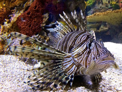 Red Lionfish - Apr 2014