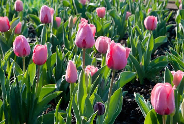 With the bloom of the flowers over a week ahead of schedule, visitors are welcome to take a trip to the Biltmore Estate starting next week. For more information, check out the Biltmore's events page.    All photos in this slideshow courtesy of the Biltmore Estate: Favorite Flowers, Biltmore Estate, Photo