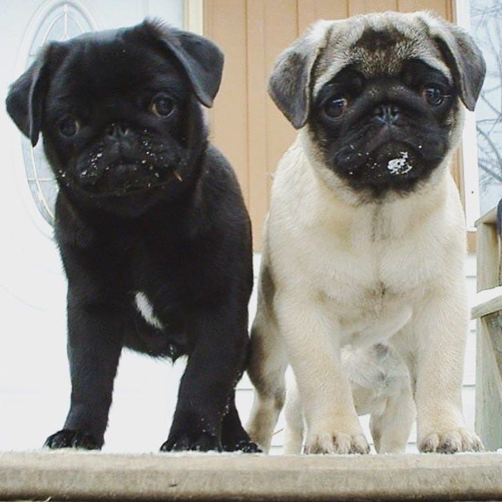 738 best peggy sue the pug images on pinterest baby pugs doggies who else wants a pug puppy or two after seeing these adorable cuties photo by thecheapjerseys Image collections