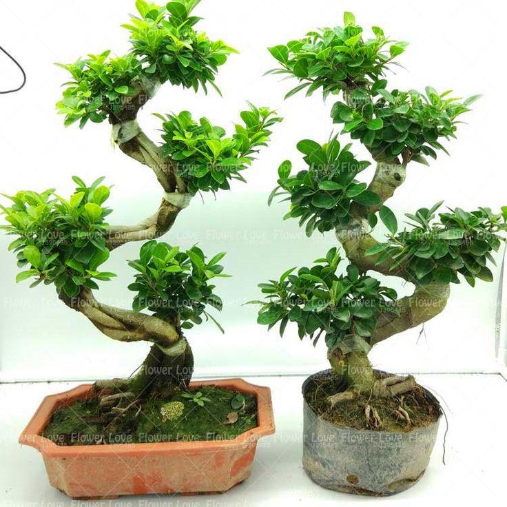 30Pcs China mini evergreen bonsai seed banyan tree seed