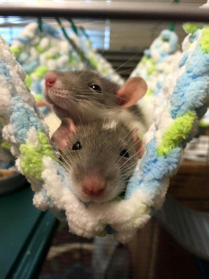 I have been rat named Tomago that looks just like these two! 😊🐀