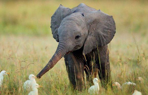 Ученые: Слоны способны на самопознание http://actualnews.org/exclusive/161928-uchenye-slony-sposobny-na-samopoznanie.html  Ученые Кембриджского университета выяснили, что слоны способны трезво оценивать свои большие размеры и имеют намного больший уровень самопознания, чем считалось ранее. Об необычном исследовании рассказывает Daily Mail.