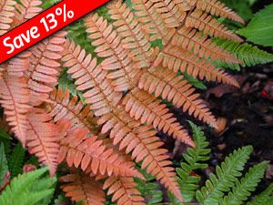 Dryopteris Autumn fern is deer proof hardy fern with 4 seasons of interest