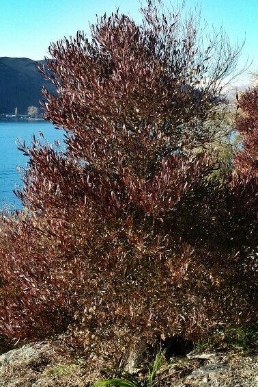 August Bush  Hopseed   Dodoneae Landscaping       elite NZ      Purpurea       Purple viscosa      camp basketball Queenstown      Purple