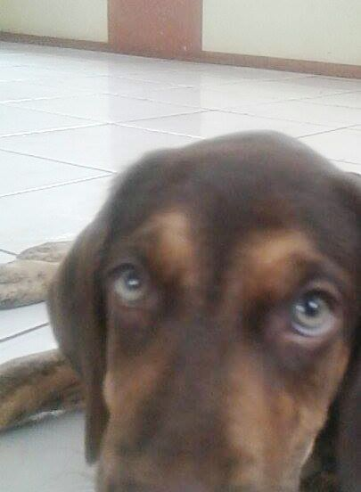 """Labrador chocolate """"canela"""""""