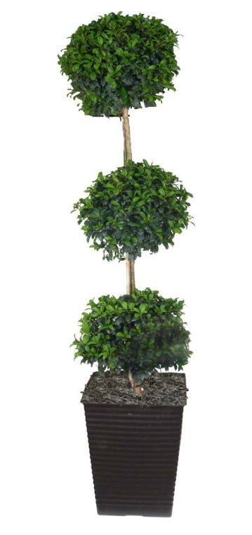 Eugenia myrtifolia [Eugenia Topiary]